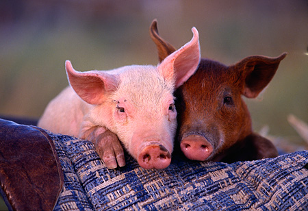 PIG 02 RK0002 01 © Kimball Stock Head Shots Of A Yorkshire And Duroc Pigs Together On Plaid Blanket