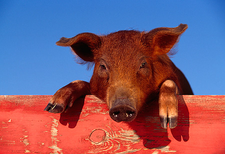 PIG 02 RK0007 07 © Kimball Stock Head Shot Of Duroc Pig Peeking Over Red Fence Facing Camera Blue Sky