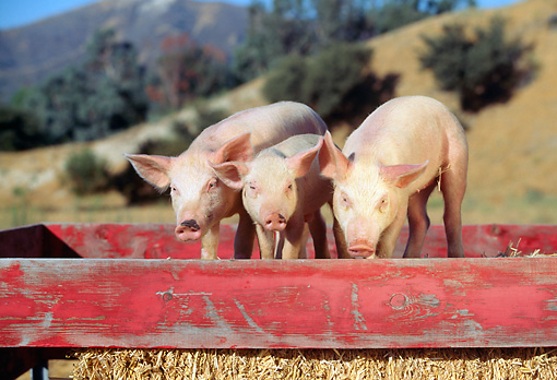 PIG 02 RK0009 01 © Kimball Stock Three Yorkshire Pigs Standing In Red Box With Hay Dry Grass Hill Tree Mountains