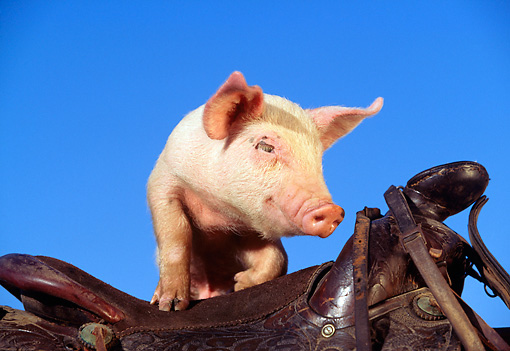 PIG 02 RK0022 01 © Kimball Stock Yorkshire Pig Standing On Saddle Blue Sky
