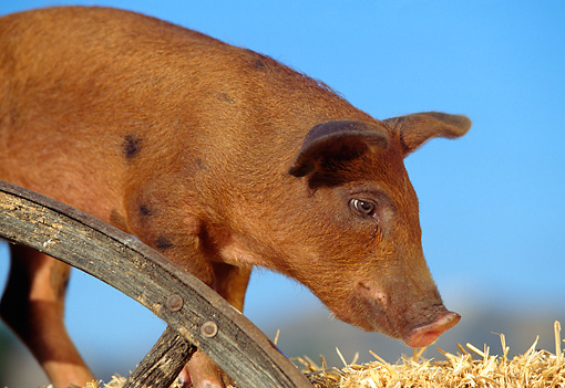 PIG 02 RK0030 02 © Kimball Stock Close Up Of Duroc Pig Standing On Hay By Wooden Wheel Blue Sky