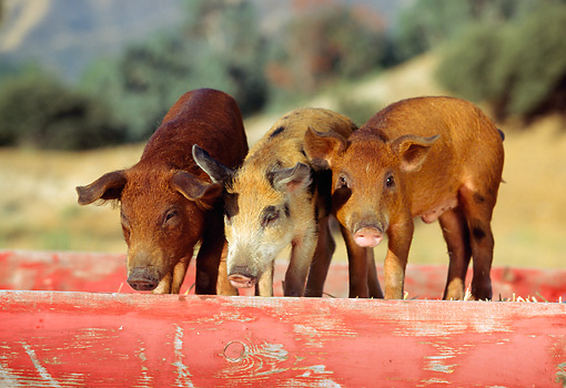 PIG 02 RK0036 10 © Kimball Stock Two Duroc And Spotted Pigs Standing In Red Box