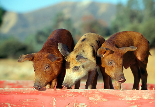 PIG 02 RK0036 12 © Kimball Stock Two Duroc And Spotted Pigs Standing In Red Box