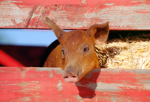 PIG 02 RK0037 10 © Kimball Stock Head Shot Of Duroc Pig Peeking Through Fence With Hay