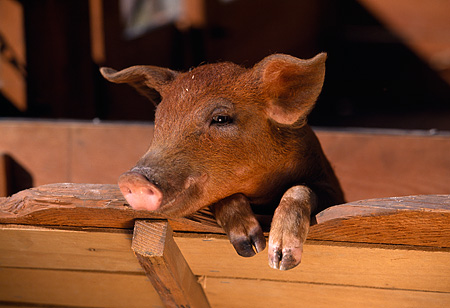 PIG 02 RK0039 01 © Kimball Stock Head Shot Of Duroc Pig Leaning Over Wood