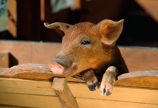 PIG 02 RK0040 01 © Kimball Stock Duroc Pig Peeking From Feed Trough