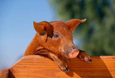 PIG 02 RK0052 03 © Kimball Stock Head Shot Of Duroc Pig Leaning Over Wooden Bench