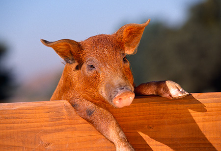 PIG 02 RK0052 11 © Kimball Stock Head Shot Of Duroc Pig Leaning Over Wooden Bench