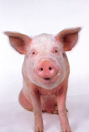 PIG 02 RK0055 18 © Kimball Stock Close Up Of Yorkshire Pig Facing Camera White Seamless