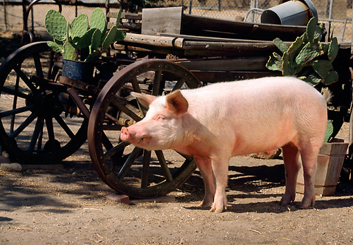 PIG 02 RK0070 06 © Kimball Stock Yorkshire Pig Standing On Dirt By Old Carriage