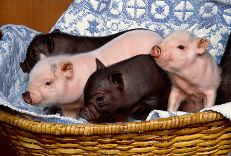 PIG 02 RK0107 01 © Kimball Stock A Group Of Vietnamese Pot Belly Baby Pigs In A Basket