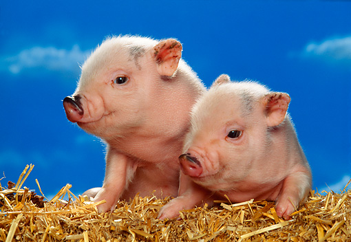 PIG 02 RK0134 15 © Kimball Stock Two Vietnamese Pot-Bellied  Piglets Laying On Hay Bale