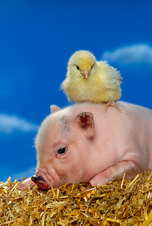 PIG 02 RK0135 09 © Kimball Stock Vietnamese Pot Bellied Pig And Chick On Hay Blue Sky Background Studio