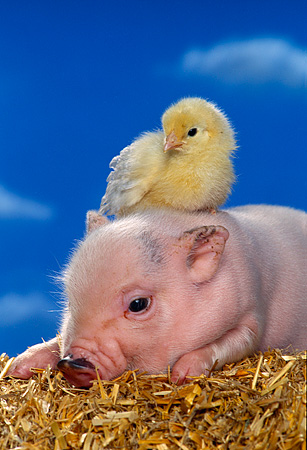 PIG 02 RK0135 10 © Kimball Stock Vietnamese Pot Bellied Pig And Chick On Hay Blue Sky Background Studio