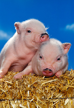 PIG 02 RK0137 04 © Kimball Stock Two Vietnamese Pot Belly Piglets Sitting On Hay Blue Sky Studio