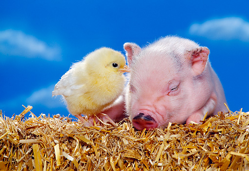 PIG 02 RK0139 03 © Kimball Stock Vietnamese Pot Bellied Pig And Chick On Hay Blue Sky