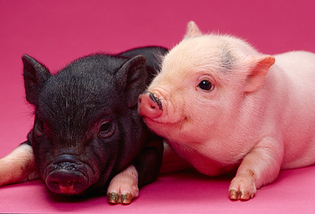 PIG 02 RK0140 03 © Kimball Stock Head Shot Of Two Vietnamese Pot Belly Piglets On Pink Seamless