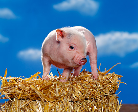 PIG 02 RK0142 01 © Kimball Stock Vietnamese Pot Belly Pig Standing On Top Of Hay Blue Sky Background Studio