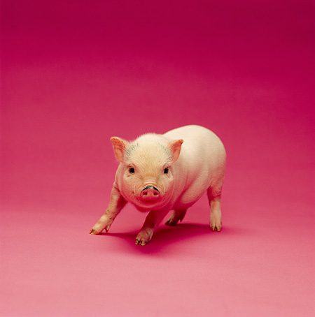 PIG 02 RK0145 01 © Kimball Stock Vietnamese Pot Belly Pig Standing On Pink Seamless