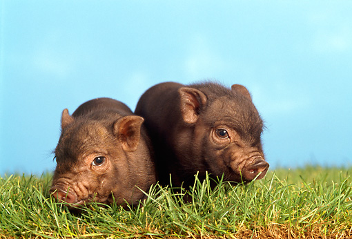 PIG 02 TK0001 01 © Kimball Stock Two Vietnamese Pot-Bellied Piglets Sitting On Grass