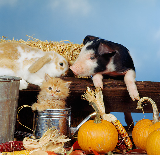 PIG 03 RS0001 02 © Kimball Stock Piglet Lop Rabbit And Kitten In Autumn Setting Studio