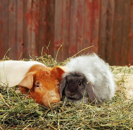 PIG 03 RS0002 02 © Kimball Stock Red And White Piglet Laying In Hay With Lop Rabbit In Barn Studio