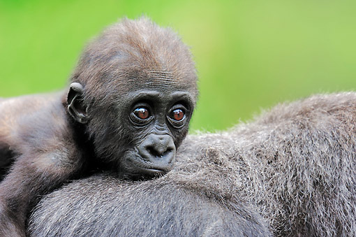 PRM 01 AC0014 01 © Kimball Stock Western Lowland Gorilla Baby Laying On Mother
