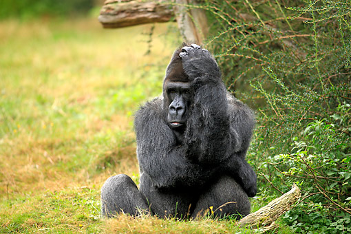 PRM 01 AC0016 01 © Kimball Stock Western Lowland Gorilla Male Sitting And Scratching