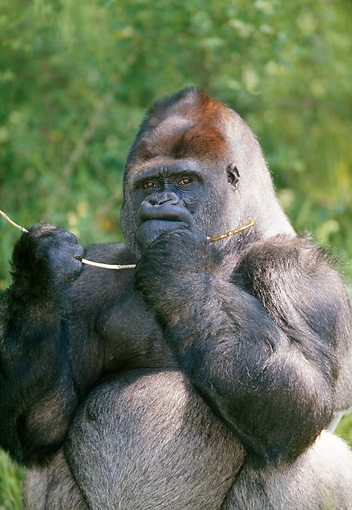 PRM 01 GL0015 01 © Kimball Stock Portrait Of Western Lowland Gorilla Holding Stick