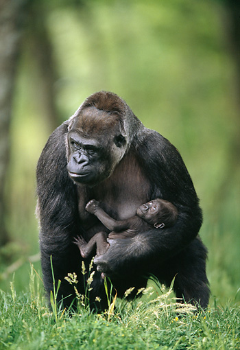 PRM 01 GL0016 01 © Kimball Stock Portrait Of Western Lowland Gorilla Holding Young