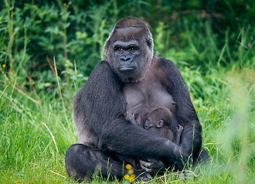 PRM 01 GL0022 01 © Kimball Stock Gorilla Mother Holding Baby In Grass
