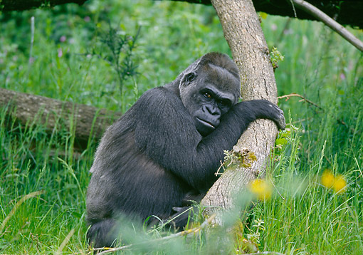 PRM 01 GL0023 01 © Kimball Stock Gorilla Laying On Tree In Grass