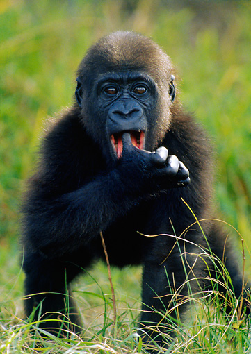 PRM 01 GR0012 01 © Kimball Stock Juvenile Gorilla Standing In Grass With Thumb In Mouth