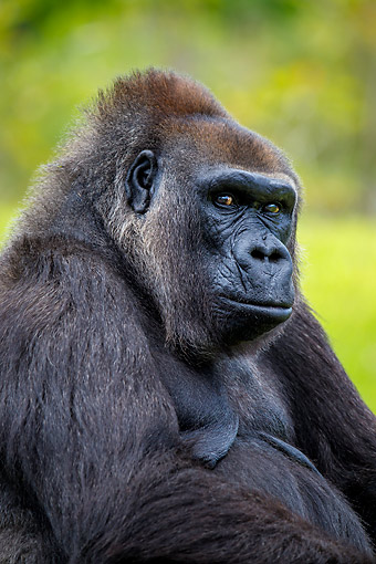 PRM 01 KH0009 01 © Kimball Stock Lowland Gorilla Sitting In Africa