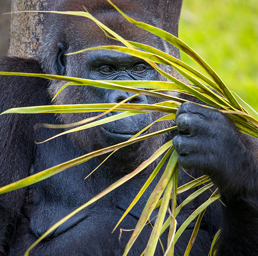 PRM 01 KH0014 01 © Kimball Stock Lowland Gorilla Holding A Palm Leaf In Africa
