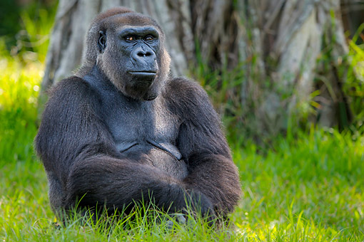 PRM 01 KH0015 01 © Kimball Stock Lowland Gorilla Sitting In Africa