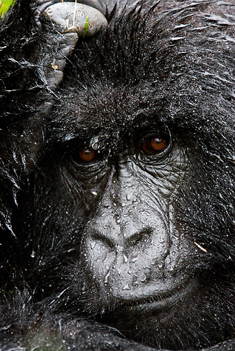PRM 01 MC0003 01 © Kimball Stock Head Shot Of Mountain Gorilla Female In Rain Rwanda