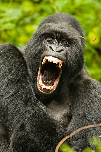 PRM 01 MC0010 01 © Kimball Stock Portrait Of Silverback Mountain Gorilla Yawning In Jungle Rwanda