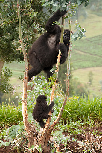 PRM 01 MC0012 01 © Kimball Stock Mountain Gorilla Mother And Baby Eating Eucalyptus In Farm Fields