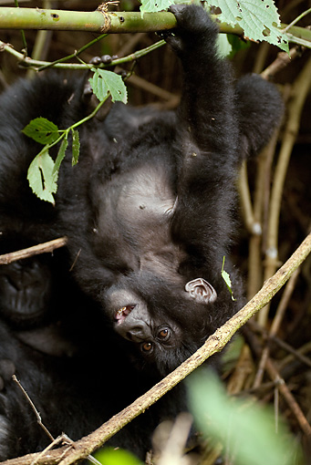 PRM 01 MC0013 01 © Kimball Stock Mountain Gorilla Baby Hanging Upside-Down From Vines