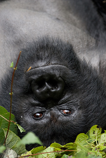 PRM 01 MC0016 01 © Kimball Stock Head Shot Of Silverback Mountain Gorilla Laying On Back In Vegetation