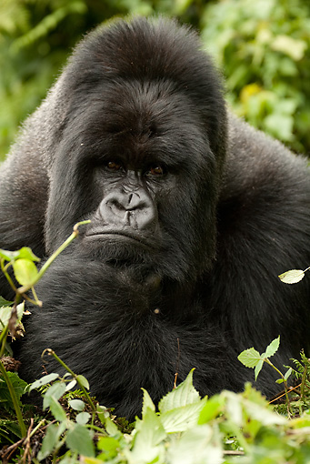 PRM 01 MC0018 01 © Kimball Stock Head Shot Of Silverback Mountain Gorilla Thinking