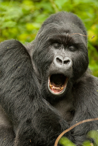 PRM 01 MC0019 01 © Kimball Stock Portrait Of Silverback Mountain Gorilla Yawning