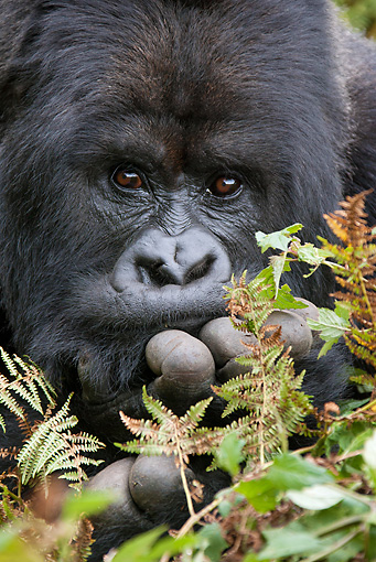 PRM 01 MC0024 01 © Kimball Stock Head Shot Of Mountain Gorilla Sitting In Vegetation Rwanda