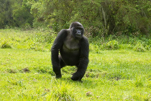 PRM 01 MC0030 01 © Kimball Stock Blackback Mountain Gorilla Standing On Grass Rwanda