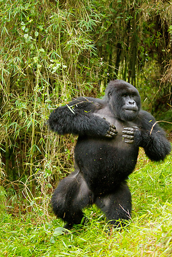 PRM 01 MC0036 01 © Kimball Stock Blackback Mountain Gorilla Beating Chest On Grass Rwanda