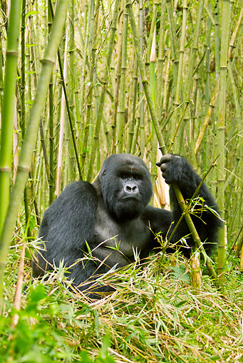 PRM 01 MC0037 01 © Kimball Stock Silverback Mountain Gorilla Sitting In Bamboo Rwanda