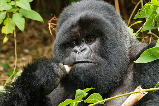 PRM 01 MC0040 01 © Kimball Stock Head Shot Of Silverback Mountain Gorilla Chewing Bamboo Rwanda