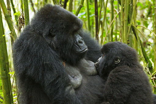 PRM 01 MC0042 01 © Kimball Stock Close-Up Of Mountain Gorilla Mother Nursing Baby In Jungle Rwanda