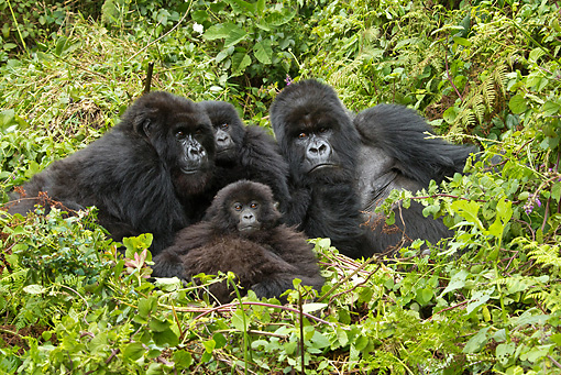 PRM 01 MC0043 01 © Kimball Stock Mountain Gorilla Family Nesting In Jungle Rwanda